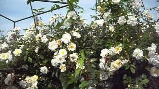 видео Роза Ritausma