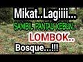 Mikat Burung Trucuk Disamping Kebun Lombok  Mp3 - Mp4 Download