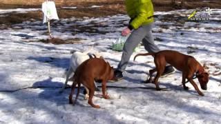 Как научить собаку выполнять команду ко мне при других собаках, окд, риджбек
