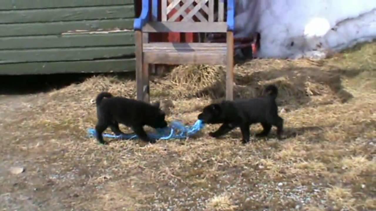 Hyggelig Norsk elghund svart. valpar 40-dagar - YouTube MK-98