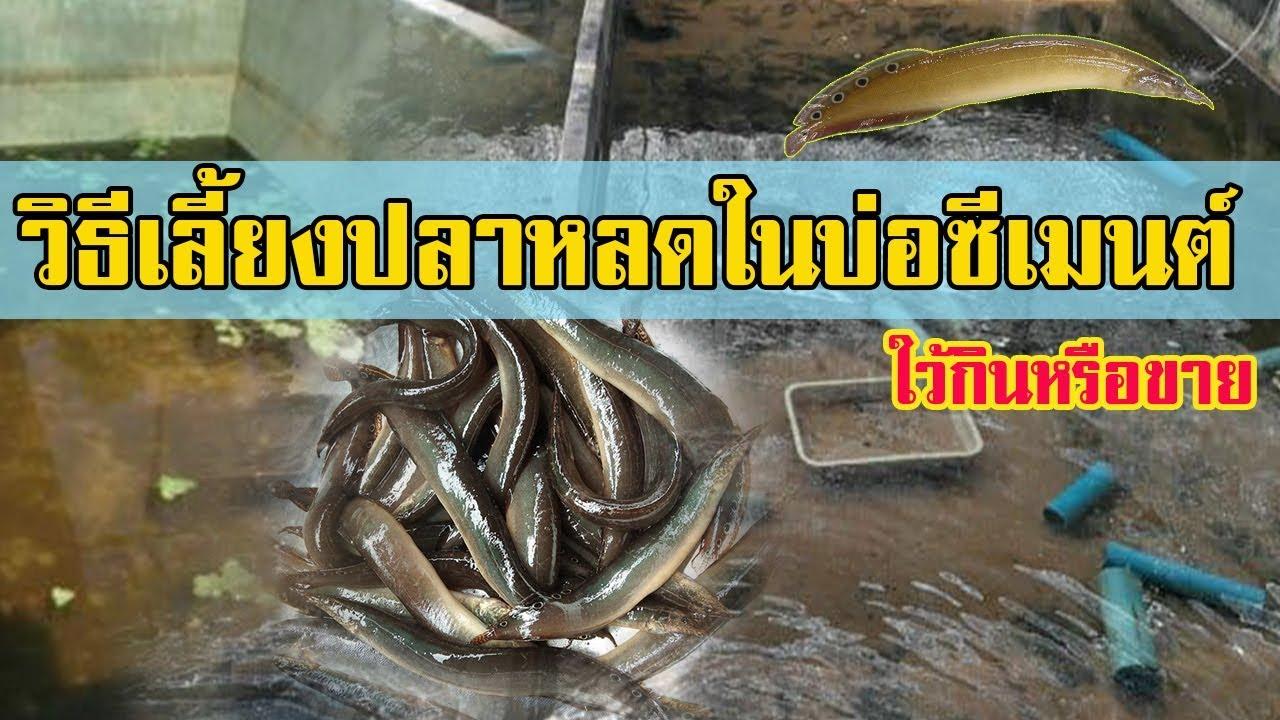 เลี้ยงปลาหลดในบ่อปูน | ใว้กินหรือขาย เป็นรายได้เสริม |