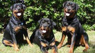 Ротвейлер. Лучшие породы собак.