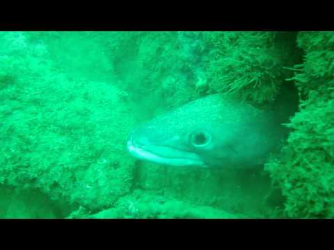 THE FEEDING OF ONE OF THE LARGEST CONGER EELS