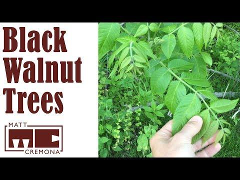 A Walk Through Walnut Grove (Identifying Black Walnut Trees)