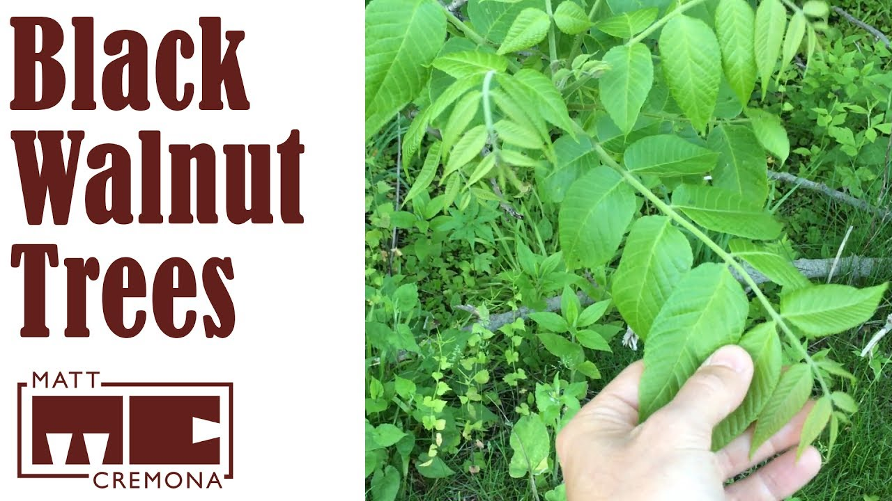 A Walk Through Walnut Grove Identifying Black Walnut Trees Youtube