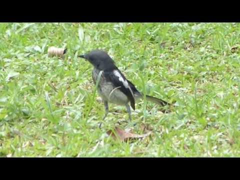 Oriental Magpie Robin juvenile @ Bidadari Garden