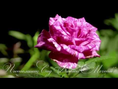 Роза Pink intuition.Обзор сорта.Питомник 'Сад Вашей Мечты' R-155