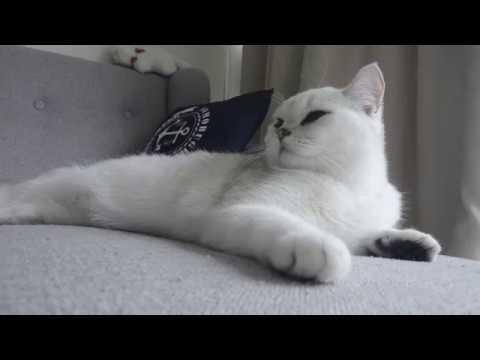 Silver Shaded British Shorthair Cat - Cat Bella taking a nap