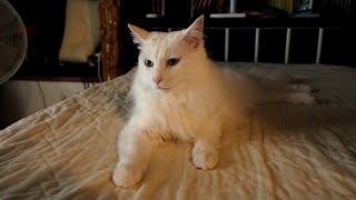 #90 うちのネコは可愛い(ユキ)- My cat Yuki compilation -