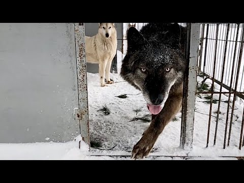Волк в домашних условиях