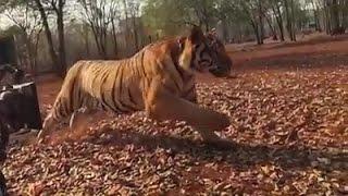 Download Video പുലിമുരുകനിലെ പുലിയെ ചിത്രികരിച്ചത് ഇങ്ങനെ ! | Pulimurugan Making Peter Hein, Mohanlal Filming Tiger MP3 3GP MP4