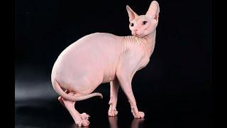 Лысые кошки сфинксы
