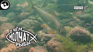Европейский хариус в реках амурского бассейна О чем молчат рыбы