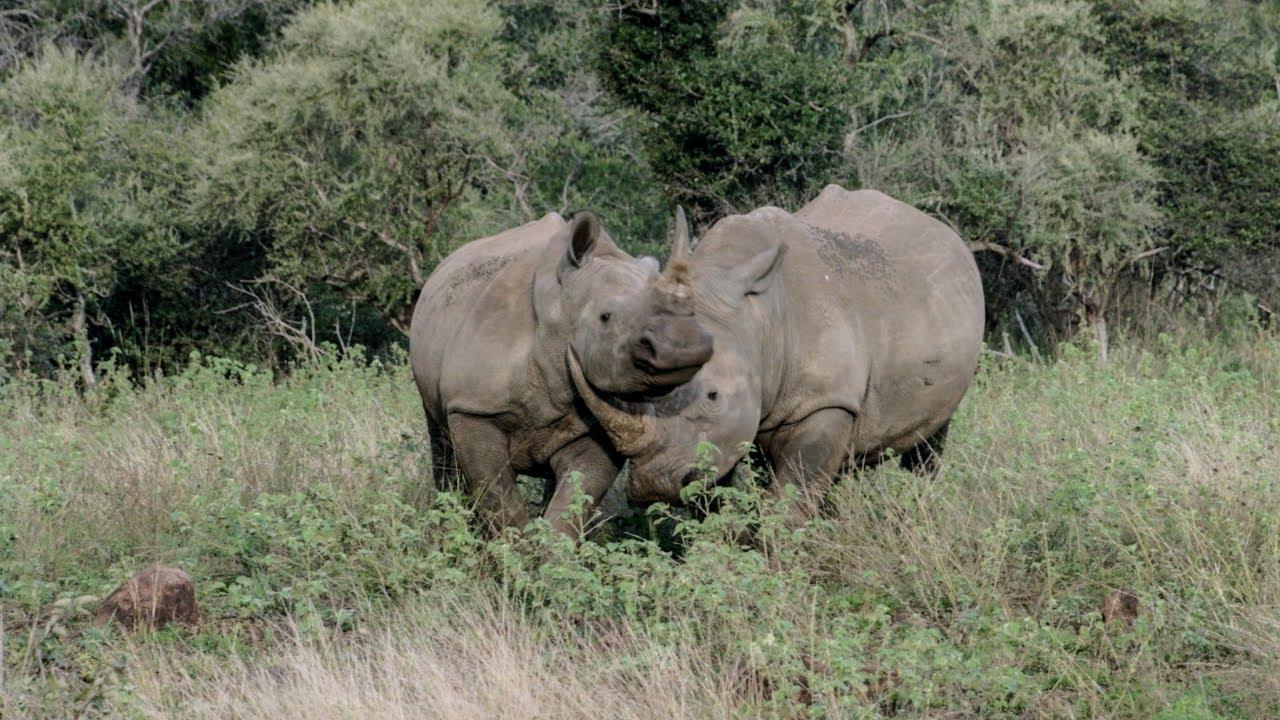 How Do Rhinos Show Love & Affection