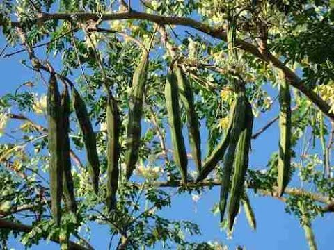 How to grow Moringa Plant from Cuttings and Seeds | Drumstick Tree - Caring Tips