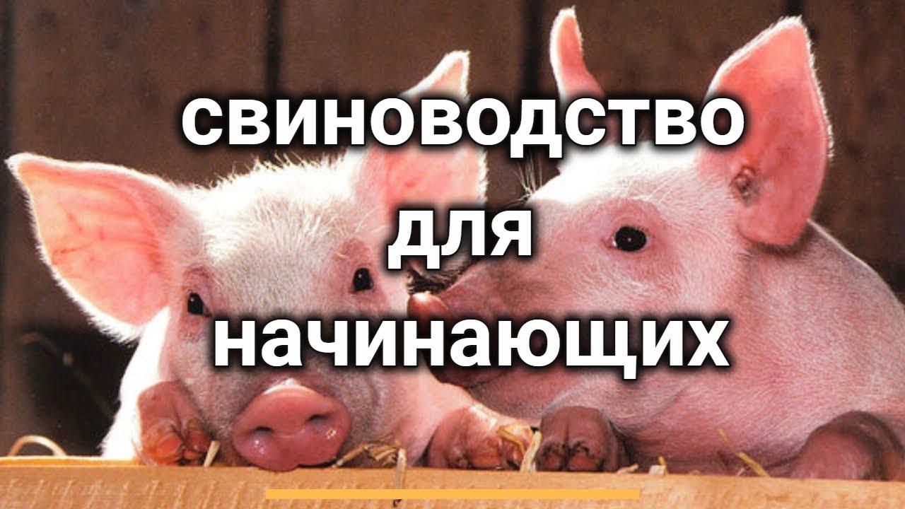 свиноводство для начинающих