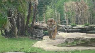 Tiger Stalking at the Zoo