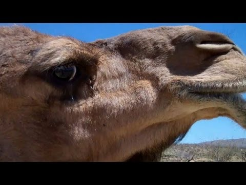 Nessie is angry! Dominance display in the Dromedary Camel