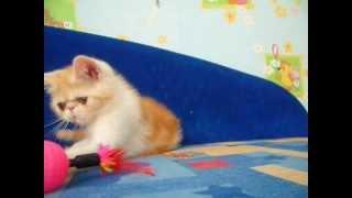 Характер кошек экзот