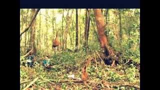 Sumatran Orangutan in Bukit Lawang