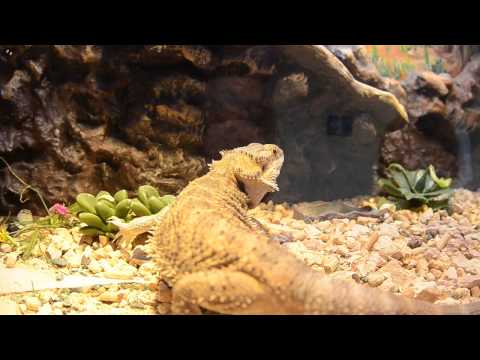 видео: Бородатая Агама и бабочки