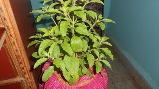 Tulsi Katha - Why Tulsi is not used in Ganesh Puja... Detail of Tulsi ji.. how to worship it...