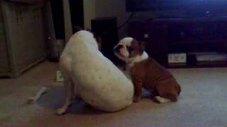 bulldog humping staffy.mp4