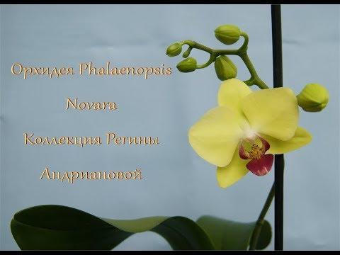 Желтая ОРХИДЕЯ фаленопсис NOVARA зацветает впервые!!!