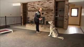Mordred (siberian Husky) Dog Training Video