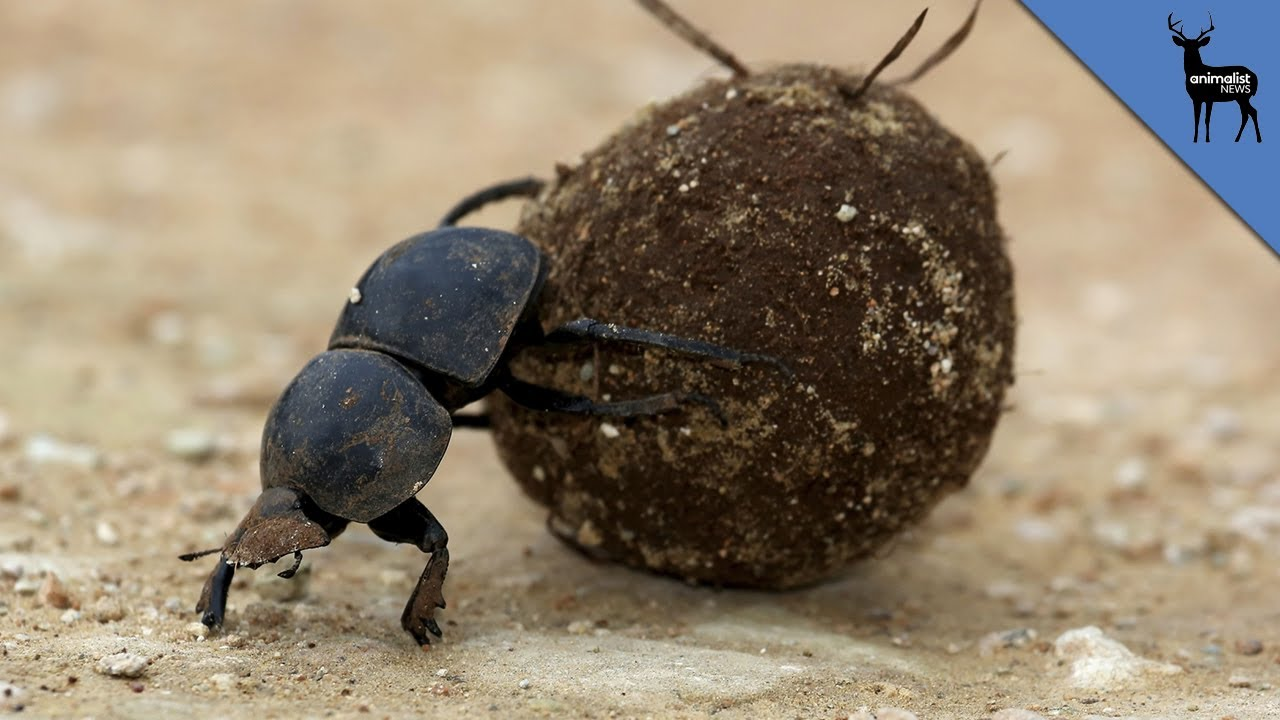 the dung beetle is stronger than you youtube