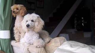 Funny Video CCTV Captures my POODLES barking when im out after neighbours complain!!