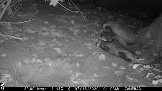 Badger cub dreaming?