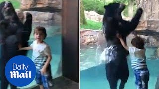 Adorable moment of bear jumping with little boy at the zoo - Daily Mail
