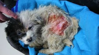 Puppyhood wasted - Myra's recovery from mange