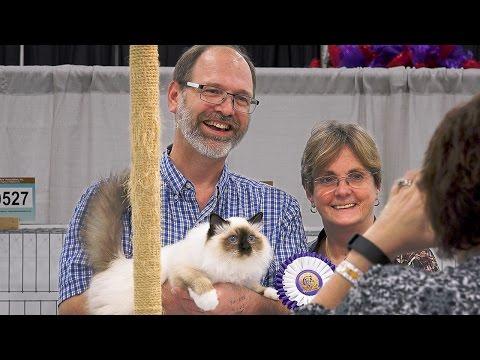 CFA International 2016 - Pam DelaBar longhair kitten final