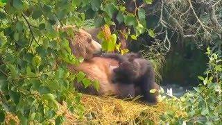 Медведица и четыре её медвежонка сосунка Аляска Bear Mother and four her sucker cubs at Brooks River
