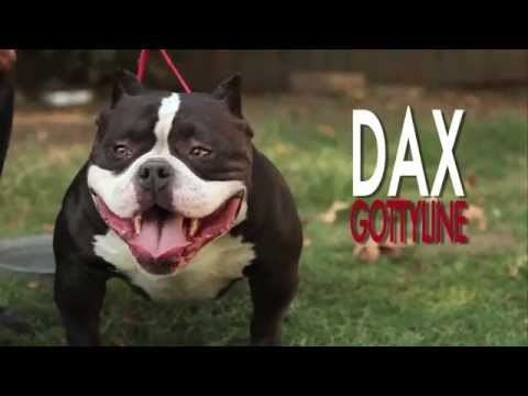 AMERICAN BULLY - GOTTYLINE DAX AUGUST 2012