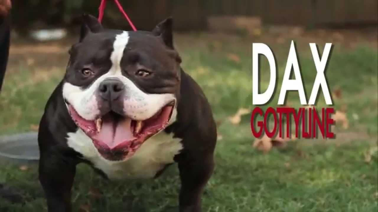 3 Popular American Bully Clubs That Everyone Bully Dog