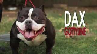 AMERICAN BULLY - GOTTYLINE DAX AUGUST 2012