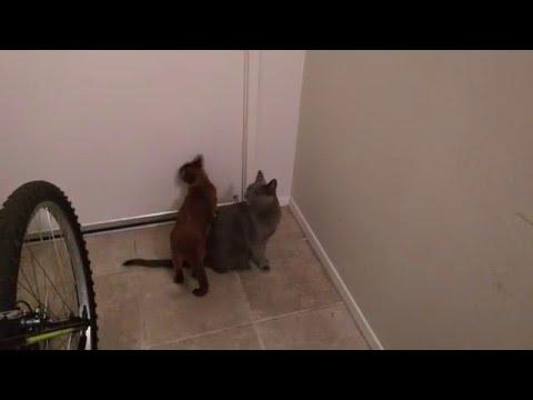 Russian Blue cat shouting