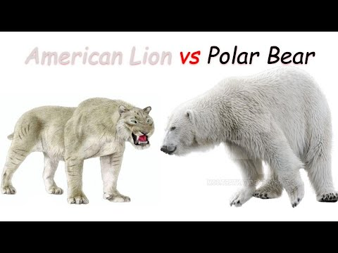 American Lion Vs Polar Bear 2020 Youtube