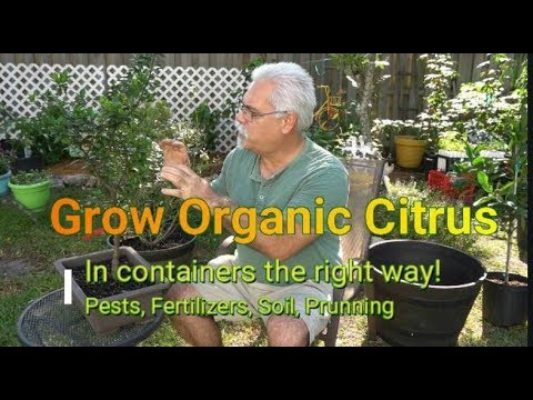 Grow Organic Citrus Trees In Containers