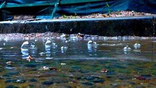 Пузыри на Луже во Время Дождя. Звук Дождя. Дождевые Капли Громко Падают в Лужу. Звук Дождевых Капель
