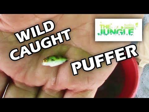 Freshwater Puffer Fish, WILD CAUGHT Puffers In The AMAZON!