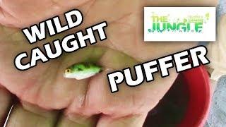 Japanese Street Food - LIVE FUGU PUFFERFISH Puffer Fish Japan