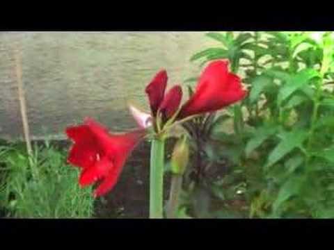 Amaryllis youtube for Oignon amaryllis