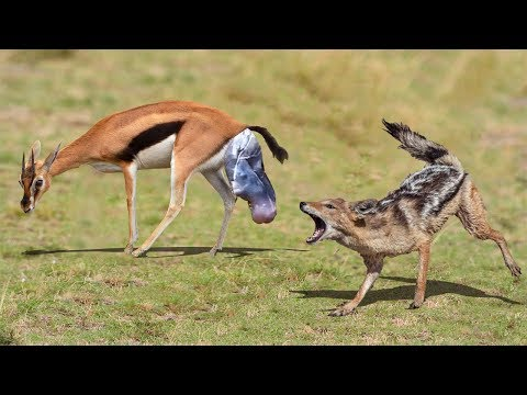 NEW BORN IMPALA ESCAPES FROM THE CHASE OF JACKAL | Impala Giving Birth