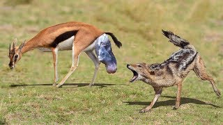 NEW BORN IMPALA ESCAPES FROM THE CHASE OF JACKAL | Impala Giving Birth thumbnail
