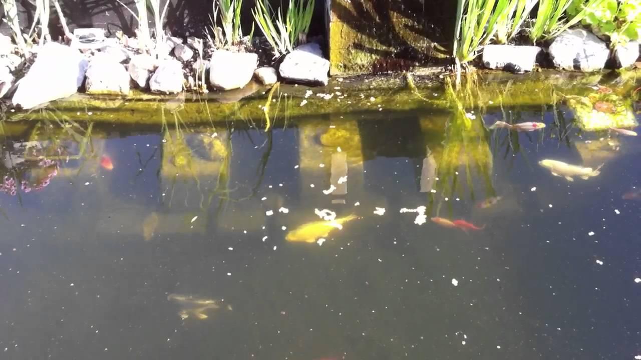Fische im teich bei der paarung doovi for Fische naturteich