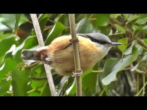 Nuthatch Bird Singing A Most Beautiful Song - Ptice